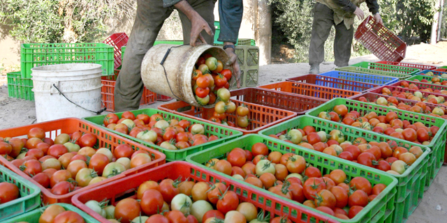 agriculture-maroc-tomates-c-afp