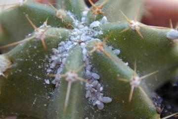 Cochenillles cactus