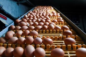 Le scandale avait mené à l'interdiction d'exercice de 86 entreprises du secteur avicole en Belgique. © AFP