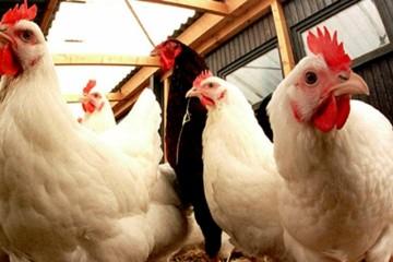 Les experts de l'UE ont déclaré la volaille marocaine persona non grata.
